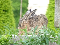 hare relaxing