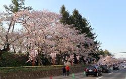 外堀沿いの桜