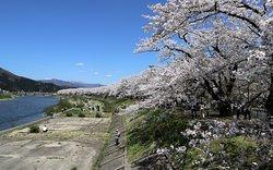 展望スポットから眺める桜並木
