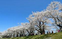 青空に映える桜を見上げる