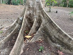 Tree with interesting roots at Muyil