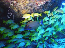 Eyestrip Surgeonfish with Ta'ape or Bluestripe Snappers and wire coral in the upper, left corner.