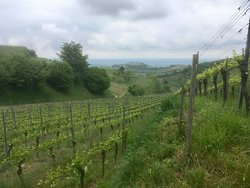 Kaiserstuhl vineyards