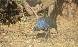 Vulturine Guineafowl found in North of Equator Game Reserve