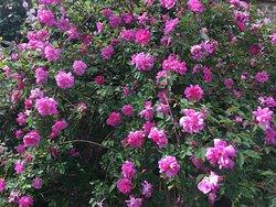 Wonderful roses