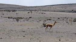 One of the hundreds of vicunas we spotted