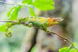 Three horned chameleon