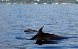 Dauphins curieux autour du bateau - Port Fréjus Plongée