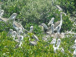 Variety of young Pelicans