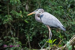 Una magnifica ave observada en el tours sobre el Rio Sarapiqui.