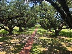 The oaks along the long path leading towards the main house on the Oak Alley Plantation Tour