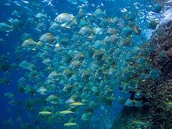Diamondfish at Hin Luk Bat Rock. Diving Koh Chang, Thailand