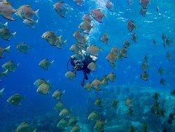 Скалярии на коралловом дайвсайте скала Хин-Лак-Бат у острова Ко-Чанг