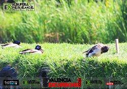 Ducks in Albufera de Valencia www.valenciaexcursions.com