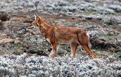 Ethiopian wolf on the Sanetti Plataeu
