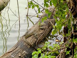 Goanna at Lake Duluti