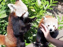 Cute Red Pandas at feeding time