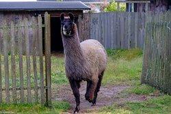 The resident Llamas
