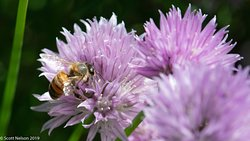 Honey bee on chives/allium