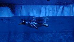 Gentoo Penguins, the third biggest creatures of the Antarctica
