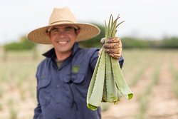 Our proud team works hard to harvest the world's finest Aloe to create our locally made Aruba Aloe products.