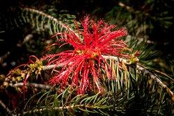 Melaleuca valida Flower  (?)