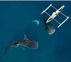 Whale Shark Sightseeing Spot