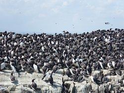 Guillemots - Staple Island