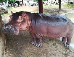 Our Hippo - Enjoy Hippo Feeding experience