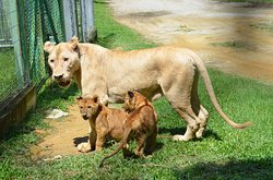 Our New born Lion cubs! TWINS