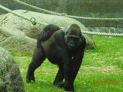 Gorilla carrying baby