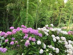 竹林と紫陽花が和でいいね
