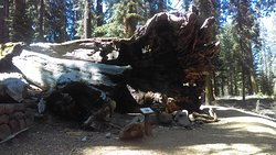 Perspective of the Fallen Wawona Tunnel Tree