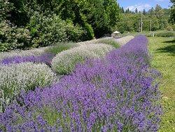 Snofalls Lavender Farm