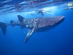 Nadando con el tiburon ballena