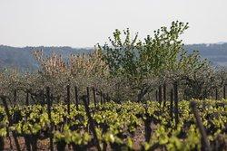 Vignoble et olivette du village de Combas pour les randonnées  - Villa Hanna - Gard - France