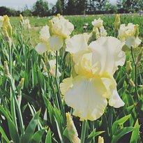 The Iris Farm