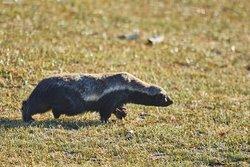 Honey Badger at Moremi Game Reserve, Botswana
