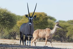 The Oryx was very shy; it took him 15 minutes to approach the watering hole