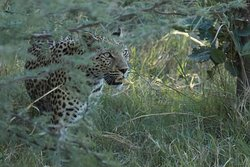 Momma leopard on the ground