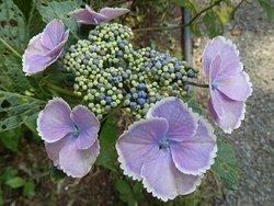 小道の両側に咲いていた紫陽花④