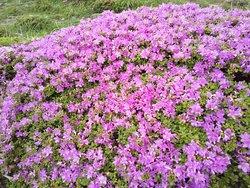 ミヤマキリシマの開花時期は大変込み合います