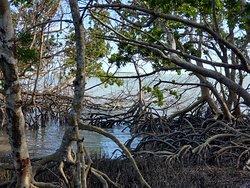 Bay loop area with mangroves