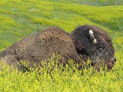 Bison along the roadside