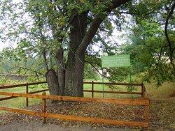 Заповедные деревья