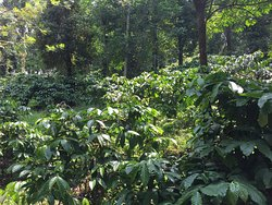 Mercara Gold Estate Coffee Plantation