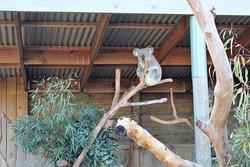 the koalas at Symbio Wildlife Park come to life at presentation time - fresh eucalyptus leaves awakes these sleepy creatures.