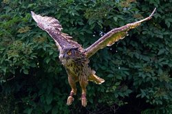 Logan the Eurasian Eagle Owl swooping in for food.