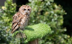 Frost the Tawny Owl