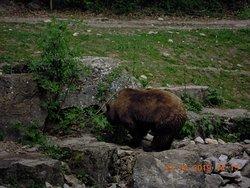 Tutta la sua naturalezza questo Orso girava maestoso bello,naturalmente cercava anche da mangiare